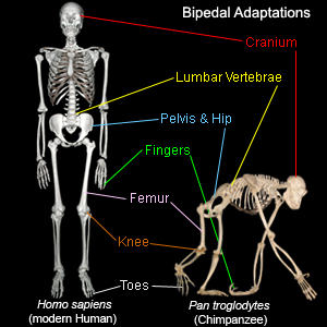 the evolution of bipedalism in lucy Human evolution is marked by a mosaic pattern this means that different parts of the body, and different adaptations, evolved at different times and different rates the anatomical changes associated with bipedalism emerged as among the earliest innovations of the human lineage.