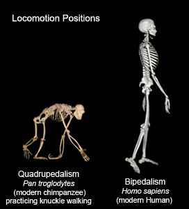 factors in the evolution to bipedalism Human evolution, the process by which human beings developed on earth from now-extinct primates  the development of bipedalism enabled hominins to establish new niches in forests, closed woodlands, open woodlands, and even more open areas over a span of at least 45 million years.