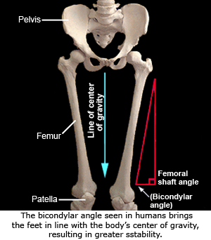 Knee (Distal Femur and Proximal Tibia) | eFossils Resources