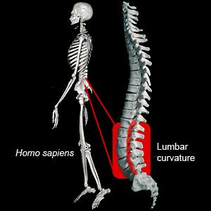 fossil(化石)兩足行走::locomotion KNEE & FEMUR &PELVIC & lumbae ...