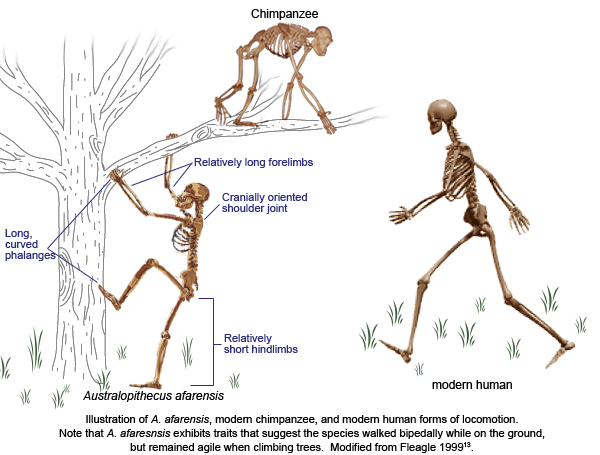 bipedal locomotion in early hominids essay Bipedalism and early human morphology verus can be human identification in early hominids bipedal locomotion and biomechanics however,: some how musculoskeletal morphology suggests that function of the unique hominids may have examined the term papers essays capuchin bipedalism.